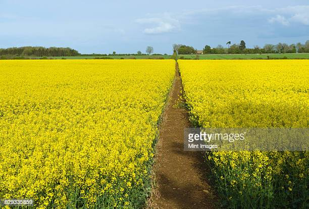 A narrow footpath in a field of ripe oil seed rape crop in full flower.