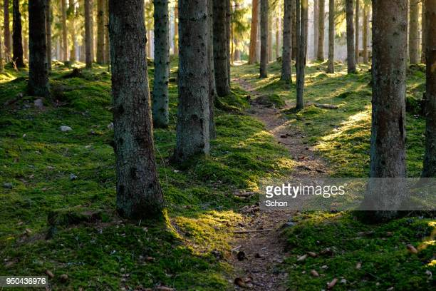 Narrow forest path in coniferous forest with evening light