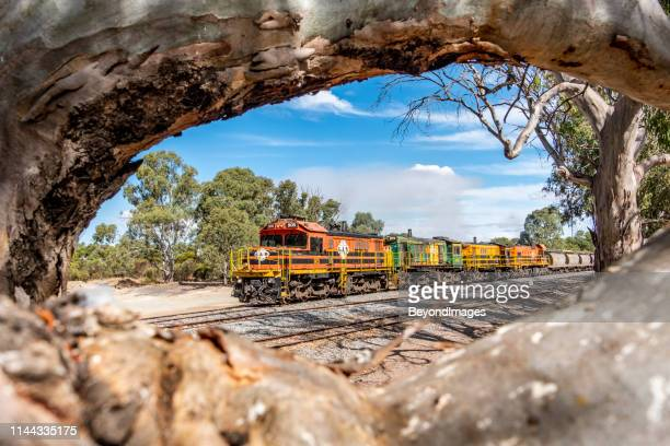narrow gauge gwa grain train framed by eucalyptus (gum) trees - south australia stock pictures, royalty-free photos & images