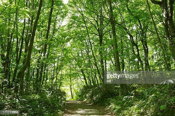 Narrow path of beech forest in Shirakami Sanchi