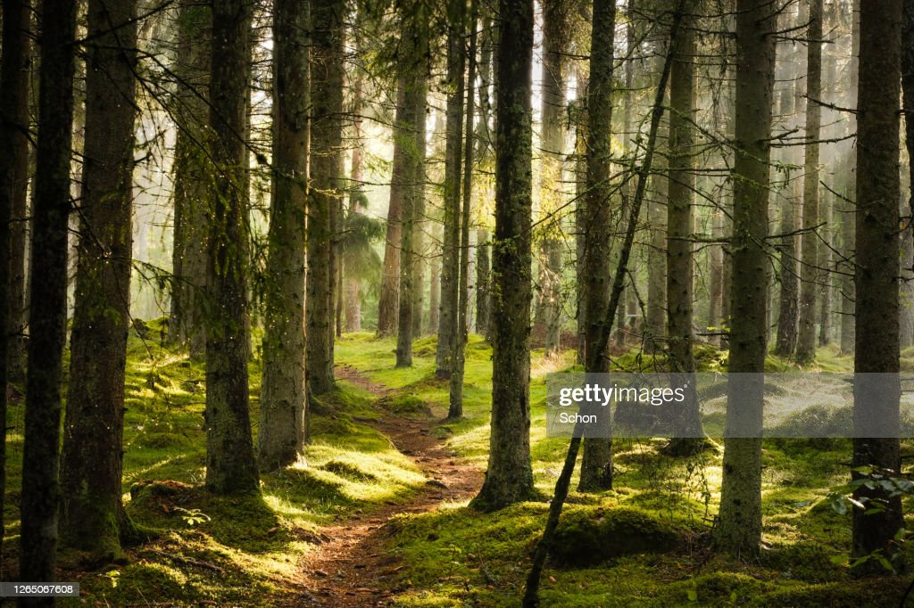 A narrow path through spruce forest in evening light with fog in summer : Stock-Foto