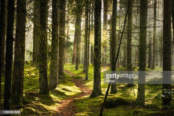 a narrow path through spruce forest in evening light with fog in summer - forest stockfoto's en -beelden