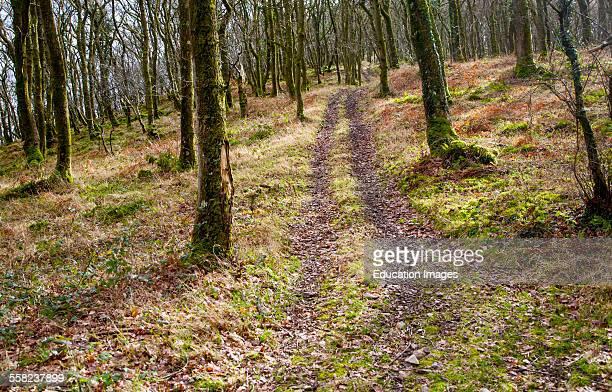 Narrow track climbs steeply through winter woodland Exmoor national park Devon England
