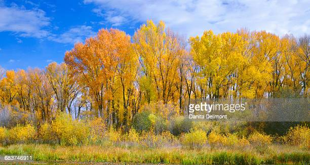 Narrowleaf cottonwood (Populus angustifolia) and willows in autumn along Gunnison River, Curecanti National Recreation Area, Colorado, USA