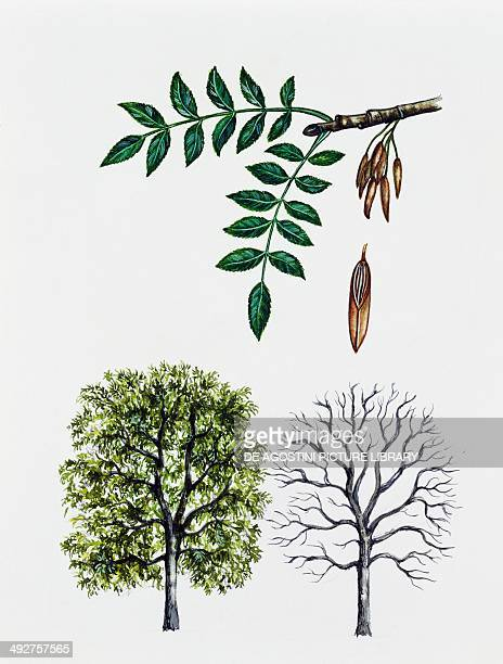 Narrowleafed ash Oleaceae tree with and without foliage leaves and fruits illustration