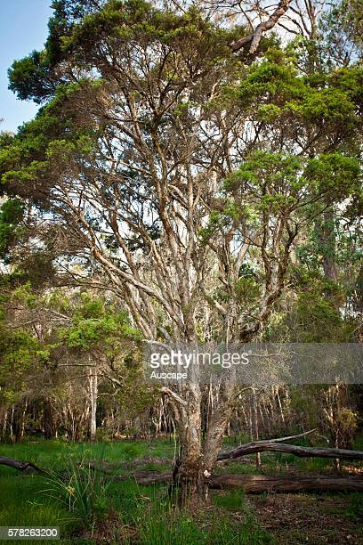 Narrowleaved teatrees Melaleuca alternifolia planted for medicinal properties Casino New South Wales Australia