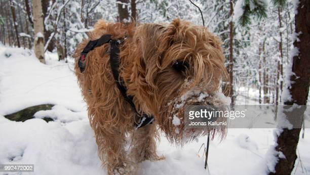 narsku, wheaten terrier - soft coated wheaten terrier stock photos and pictures