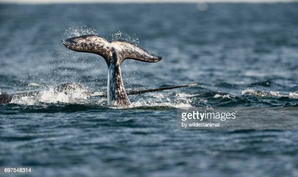 narwhal tail fluke with the tusk of another narwhal behind it, baffin island, canada. - narwhal stock photos and pictures