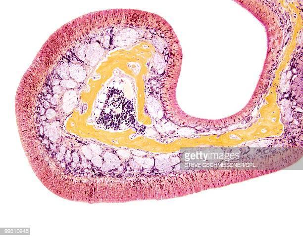 nasal lining, light micrograph - epitelio fotografías e imágenes de stock