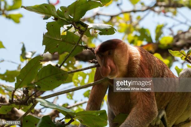 nasalis larvatus at bako national park, kuching, borneo , malaysia - ugly monkey stock photos and pictures