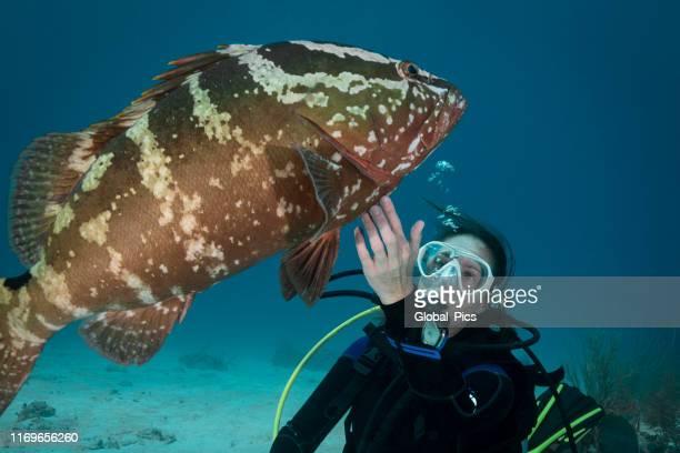 nassau grouper (epinephelus striatus) and diver - grouper stock pictures, royalty-free photos & images