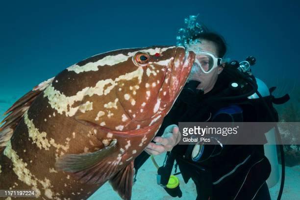 nassau grouper (epinephelus striatus) and diver - sea life stock pictures, royalty-free photos & images