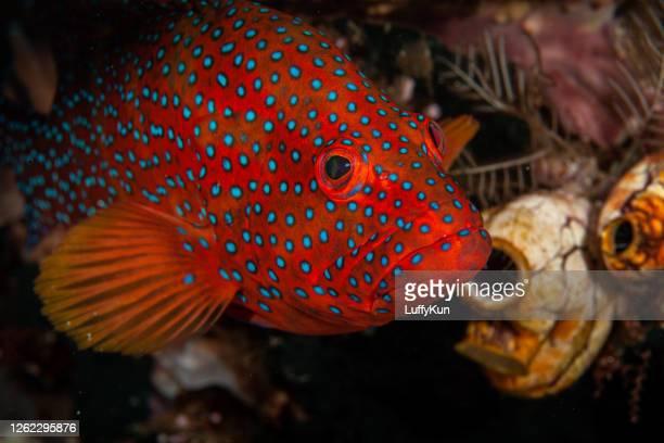 mérateur nassau. mérateur de corail tacheté bleu. - poissons exotiques photos et images de collection
