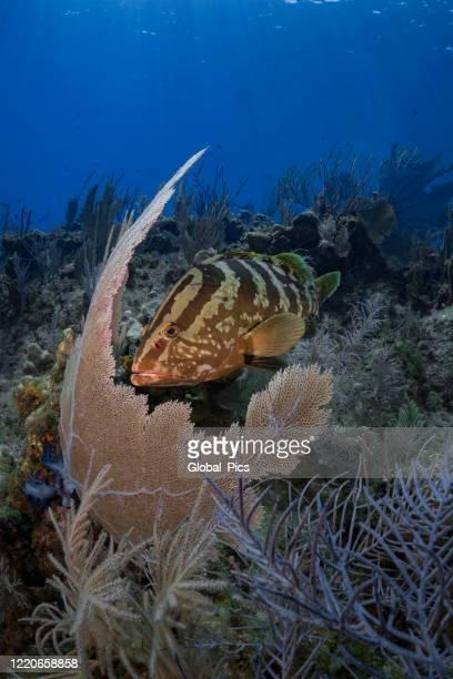 nassau grouper (epinephelus striatus) - threatened species stock pictures, royalty-free photos & images