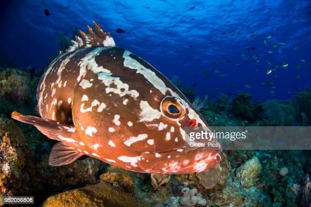 nassau grouper (epinephelus striatus) - grouper stock pictures, royalty-free photos & images