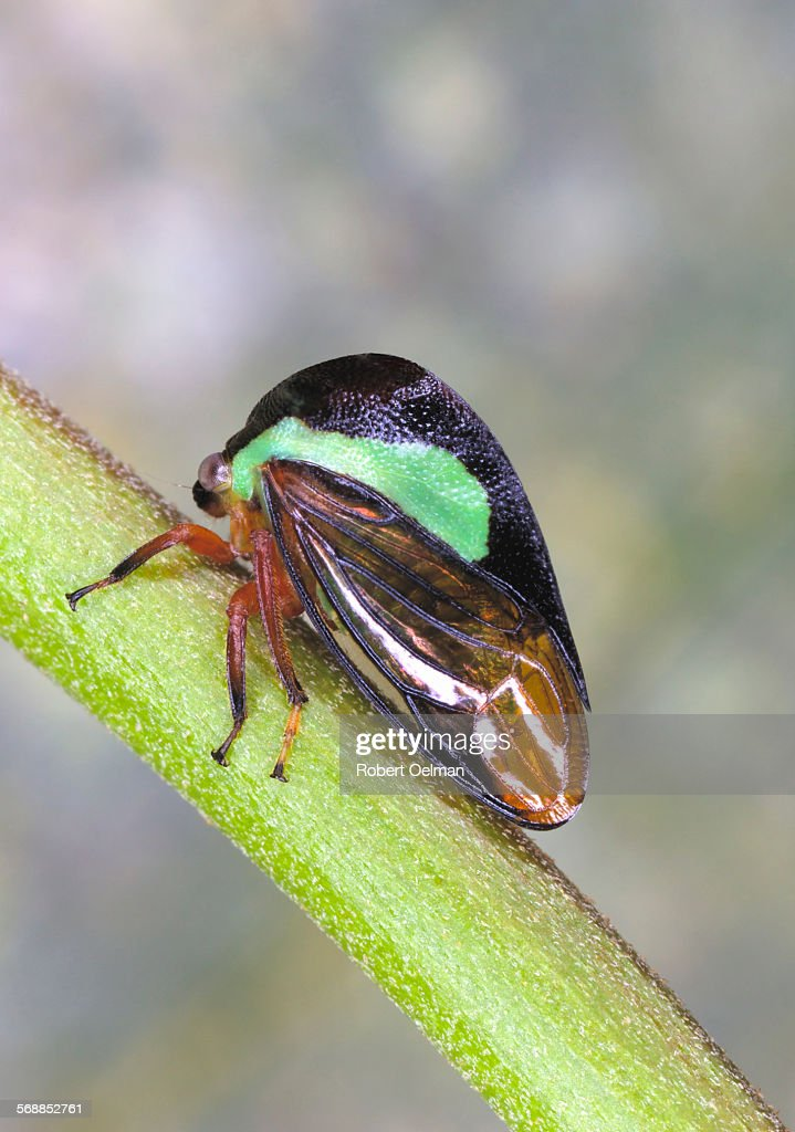 Nassunia sp. : Stock Photo