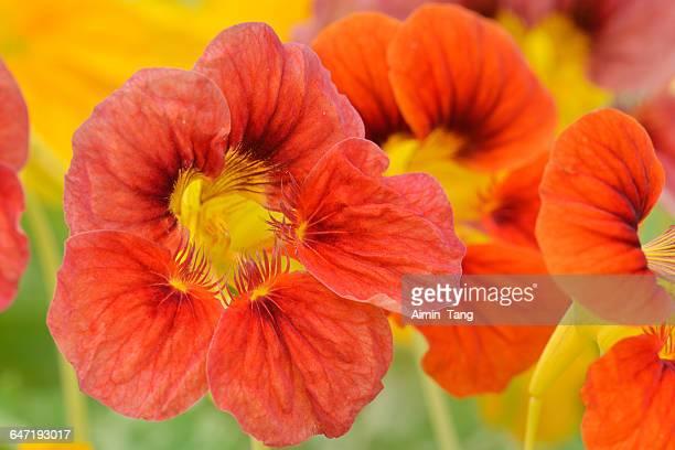 nasturium - nasturtium stock pictures, royalty-free photos & images