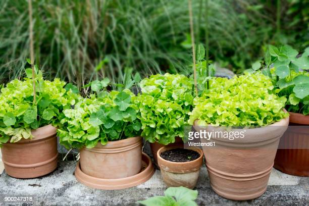 Nasturtium and variation of lettuce in plant pots in garden