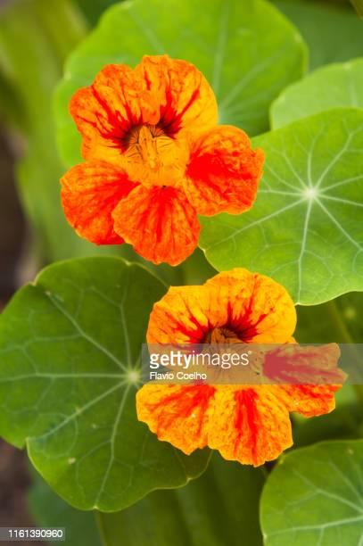 nasturtium - edible flowers - nasturtium stock pictures, royalty-free photos & images