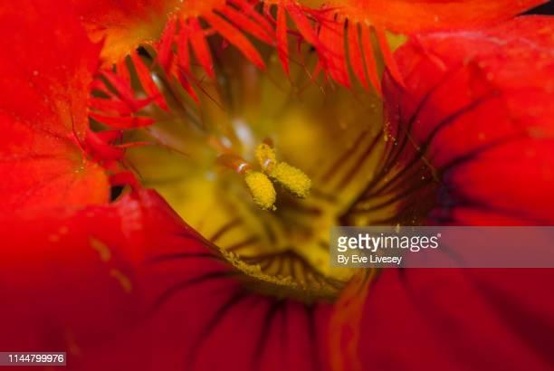 Nasturtium Flower Macro