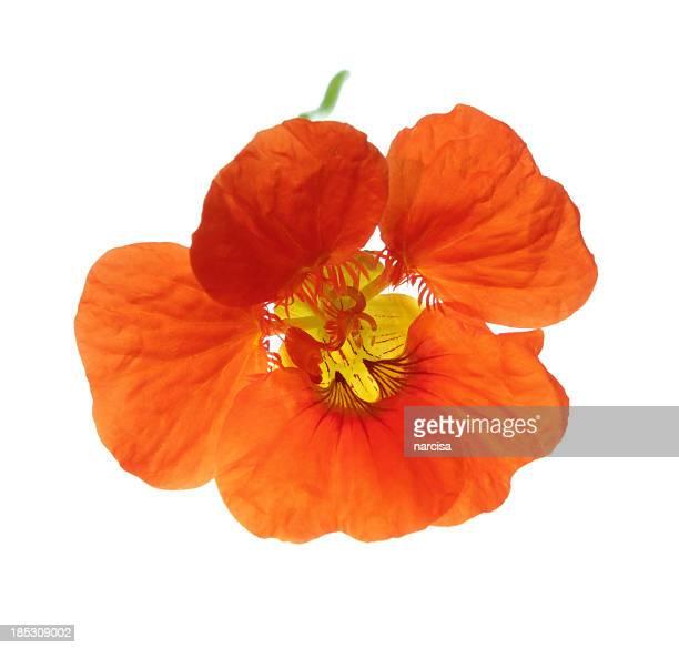 Kapuzinerkresse Blume