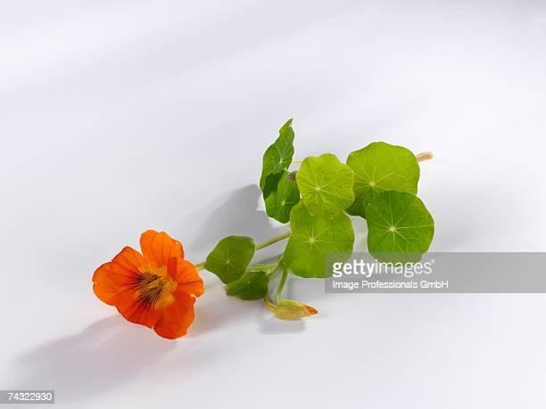 nasturtium flower with leaves - nasturtium stock pictures, royalty-free photos & images