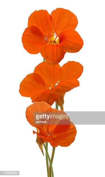 nasturtium flowers - nasturtium stock pictures, royalty-free photos & images