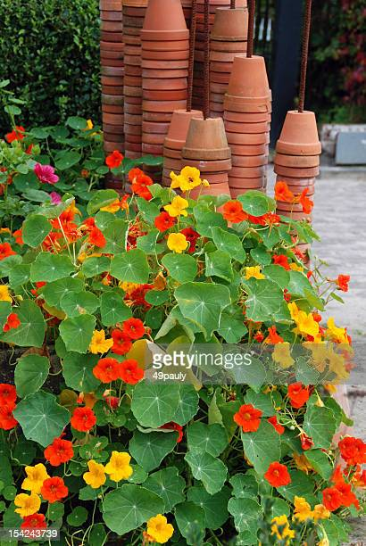 nasturtium growing in a flowerbed - nasturtium stock pictures, royalty-free photos & images