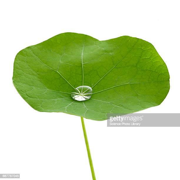 Nasturtium leaf with water droplet