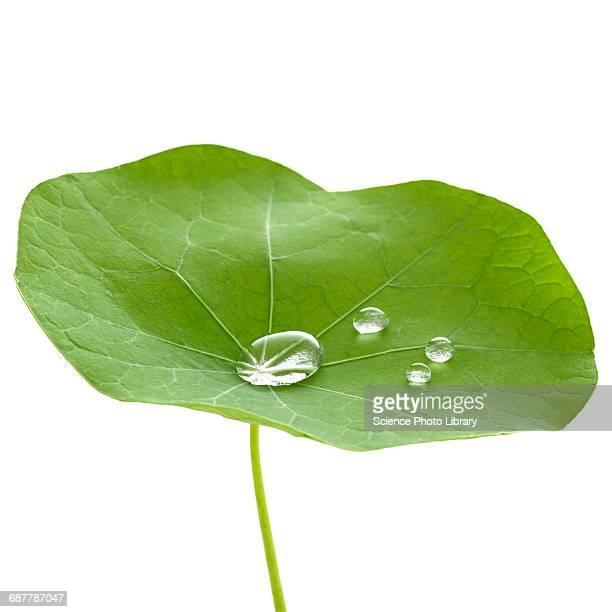 Nasturtium leaf with water droplets
