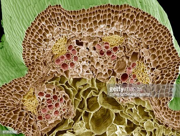 nasturtium stem, sem - sem stock pictures, royalty-free photos & images