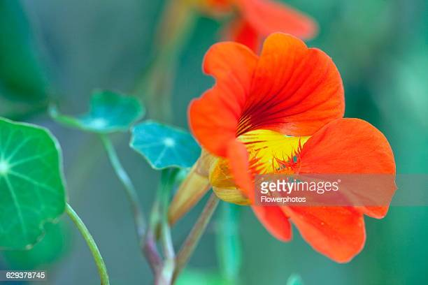 Nasturtium Tropaeolum majus 'Trailing Mixed' Close view of one scarlet red orange flower with yellow throat and some leaves