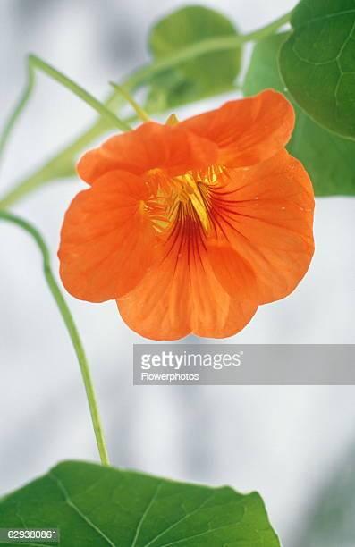 Nasturtium Tropaeolum variety not identified
