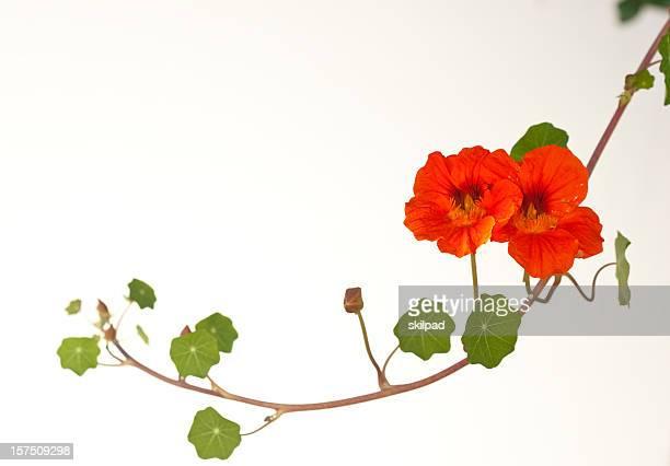 nasturtium vine - nasturtium stock pictures, royalty-free photos & images