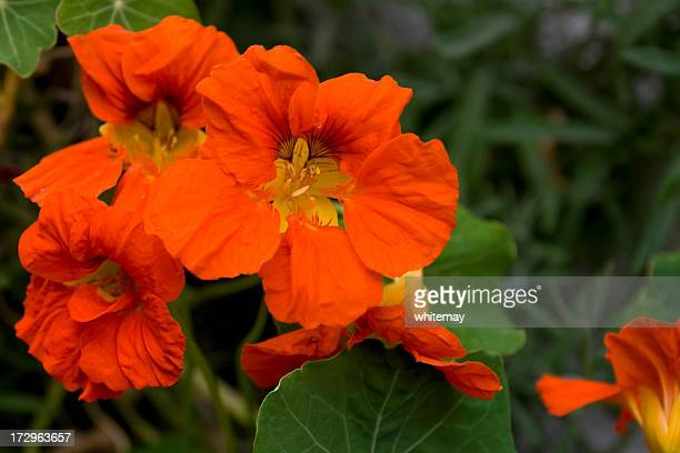 nasturtiums - nasturtium stock pictures, royalty-free photos & images
