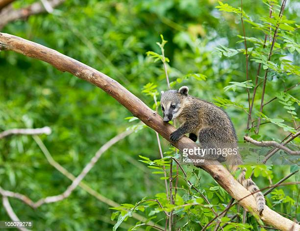 nasua - coati stock pictures, royalty-free photos & images