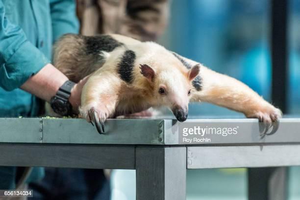 "Nat Geo WILD host David Mizejewski discusses ""Pet Talk"" with moderator Matt Forte and a A Tamandua anteater during the build series at Build Studio..."