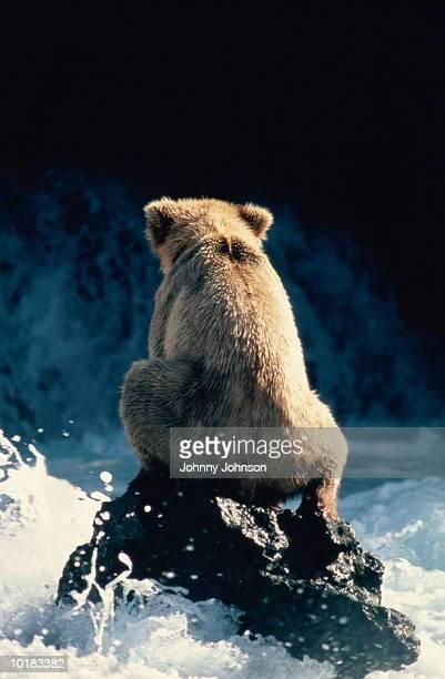 GRIZZLY BEAR FISHING FOR SALMON, KATMAI Nat. Park, ALASKA