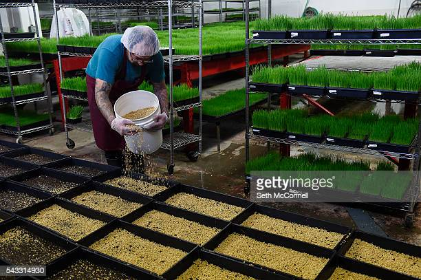 Nathan Lara fills trays with wheatgrass seeds at Friends Trading Company in Northglenn Colorado on June 22 2016 Friends Trading Company grows and...