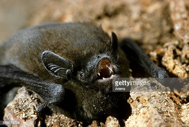 Nathusius pipistrelle bat Europe