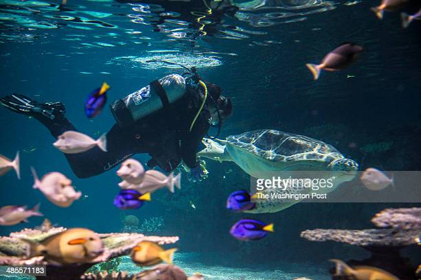National Aquarium Curator of Fishes Holly Bourbon dons SCUBA gear to feed Calypso a threeflippered sea turtle in the aquarium's new 'Blacktip Reef'...