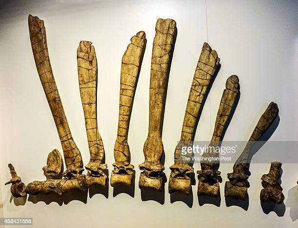 National Geographic is unveiling the Spinosaurus exhibit on Friday on September 2014 in Washington DC Pictured detail of a display of bones in the...