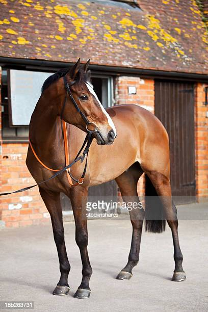 national hunt steeplechaser - thoroughbred horse stock photos and pictures