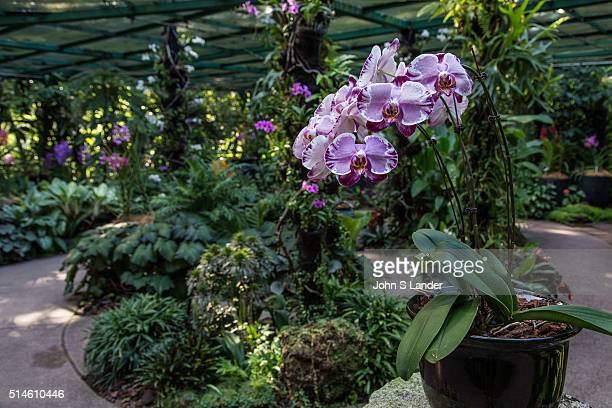 National Orchid Garden Singapore has been a center for orchid breeding since the 1930s Some of the garden's hybrids have become important in the...