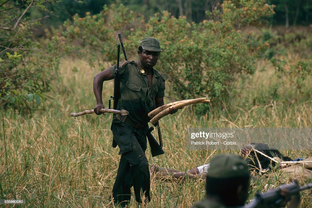 A National Parks Guard carries confiscated elephant tusks after arresting a group of poachers in Zaire. The national parks continue to struggle against the poaching of elephants and the traffic of ivory in Zaire (now the Democratic Republic of Congo).