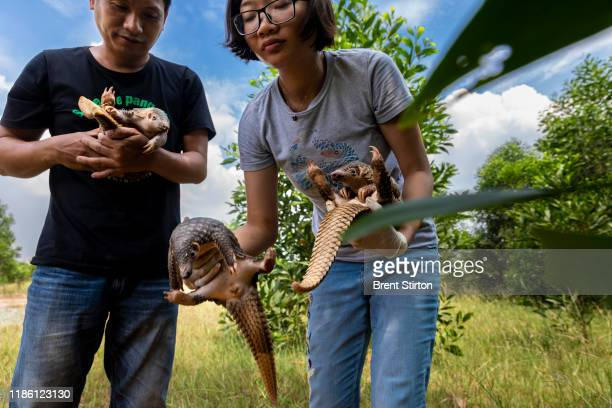 National Parks Veterinarian Nguyen Van Cuong and a veterinarian from Save Vietnam's Wildlife Ngoc Duyen Huong rescue three juvenile pangolins that...