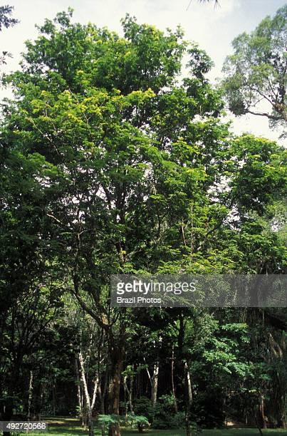 National tree of Brazil, Caesalpinia echinata, commonly known in Brazil as pau brasil, gave its name to the country - the species is famous for the...