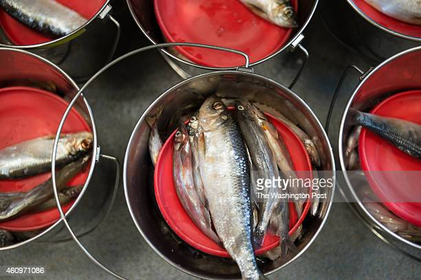 National Zoo volunteers fill the seal food buckets on December 15 2014 in Washington DC Gray seals eat thawed frozenherring capelin butterfish and...