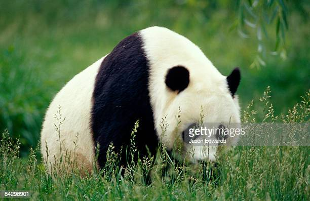 An endangered Giant Panda moving through seeding grass.