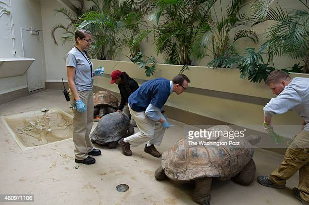 National Zoo's Aldabra tortoise Alex is coaxed into position by biologist Matt Evans while Chief Veterinarian Dr Don Neifer and VeterinarianTech...
